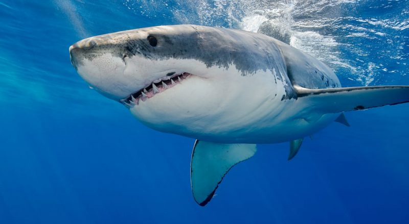 SHARKS AND THE INCREDIBLE BENEFITS OF SHARK OIL